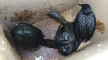Заставка для - Экологи Сахалина спасают птиц, пострадавших от разлива нефти