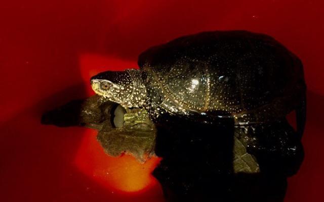 Заставка для - Как Иваново и Астрахань спасали редкую черепаху Клавдия